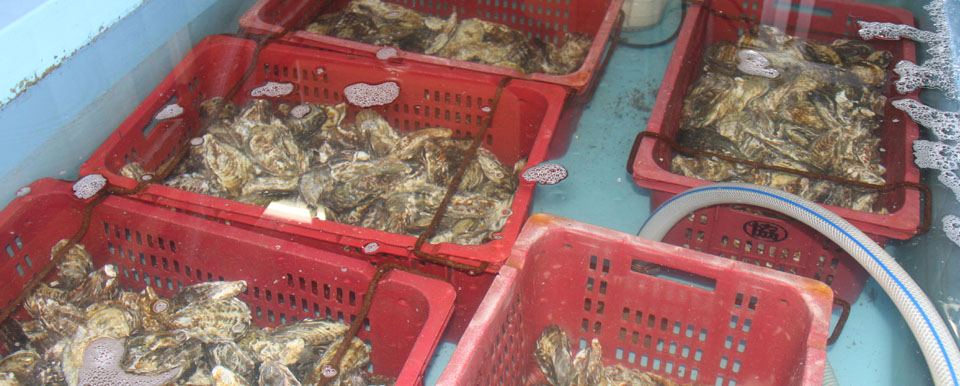 鮮度抜群で高品質な牡蠣を提供